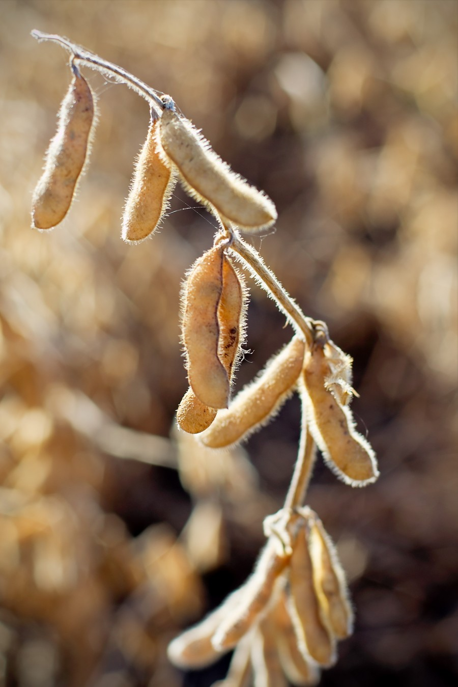 Soybeans are also a major GM crop, and also used in a wide variety of processed foods. Photo by Philip Dean on flickr